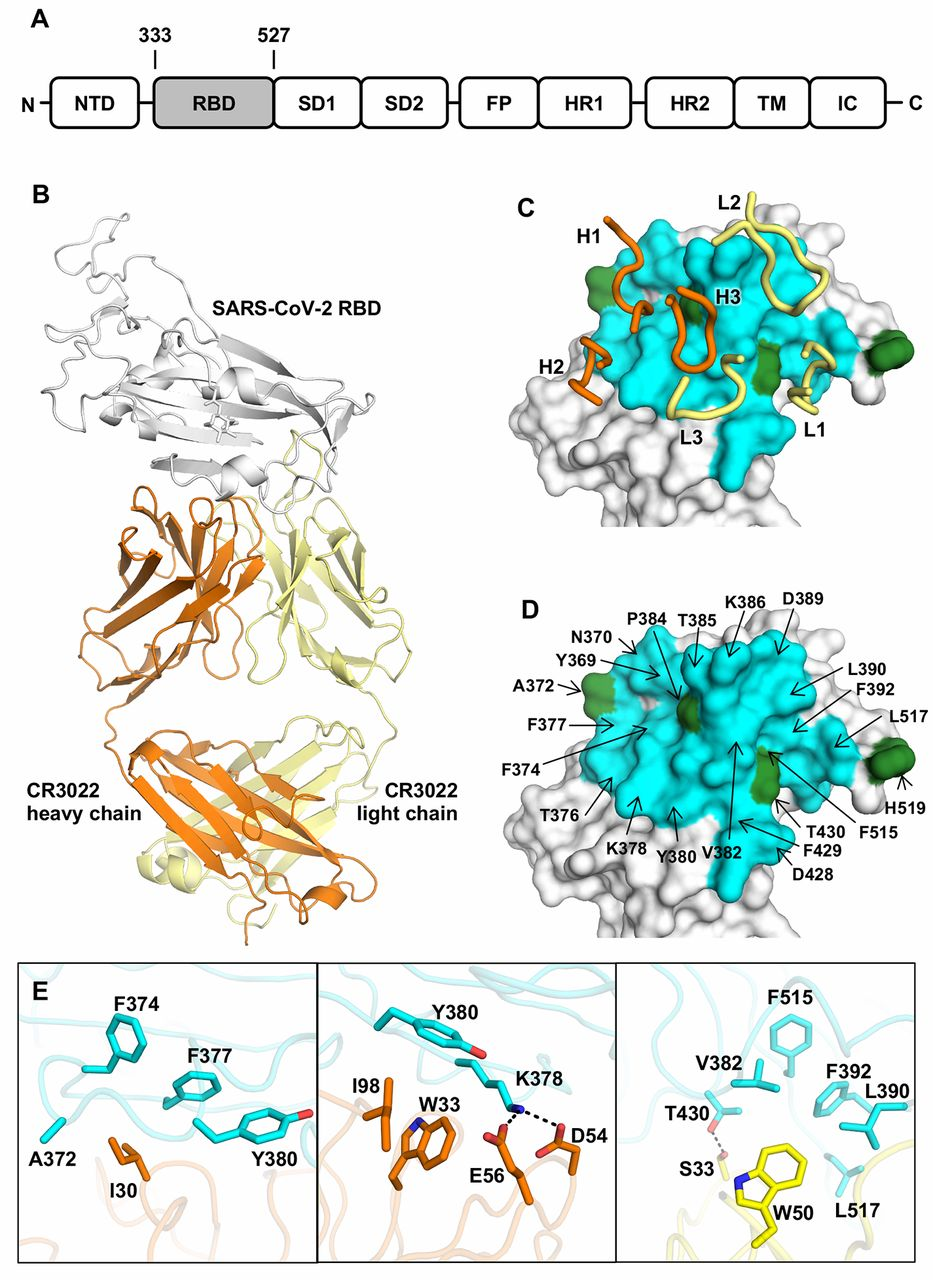 Crystal structure of CR3022 in complex with SARS-CoV-2 RBD.